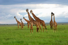 Сафари в Кения - Фотогалерия - снимка 19