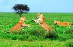 Диво сафари в Танзания